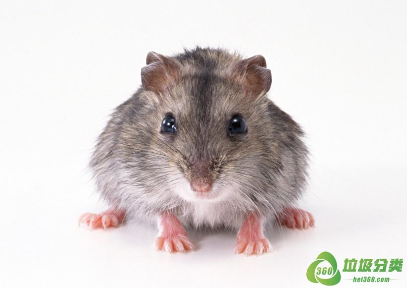 死老鼠属于是什么垃圾分类?